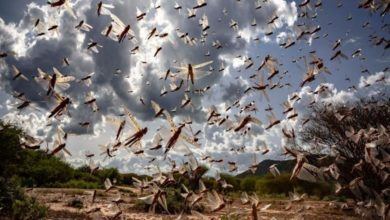 Photo of How Corona and Local weather improve created the excellent storm for locust invasion in India